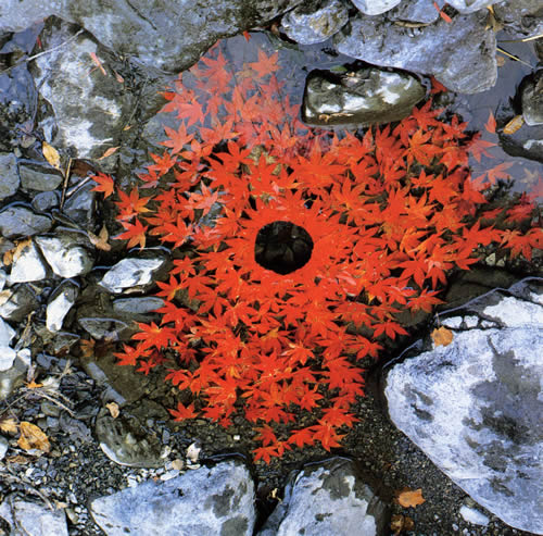 Sugar Maple Leaves, Andrew Goldsworthy