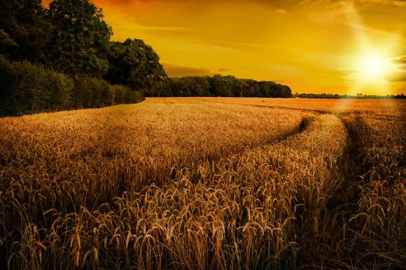 wheat-ripening-in-late-summer-sun-in-shropshire-christopher-elwell